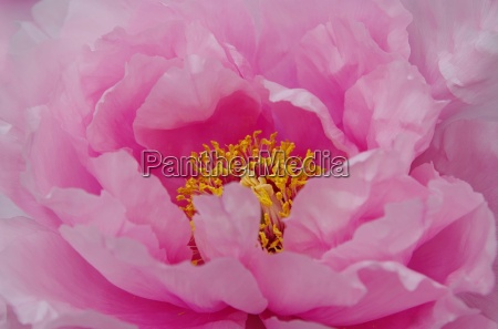 peony in pink with yellow stamp