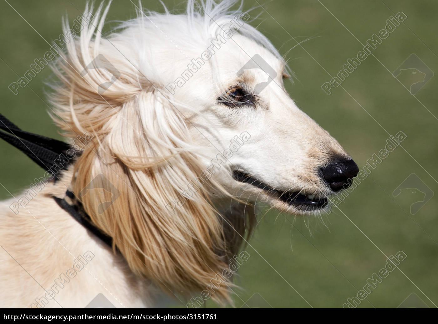 afghan, hound - 3151761