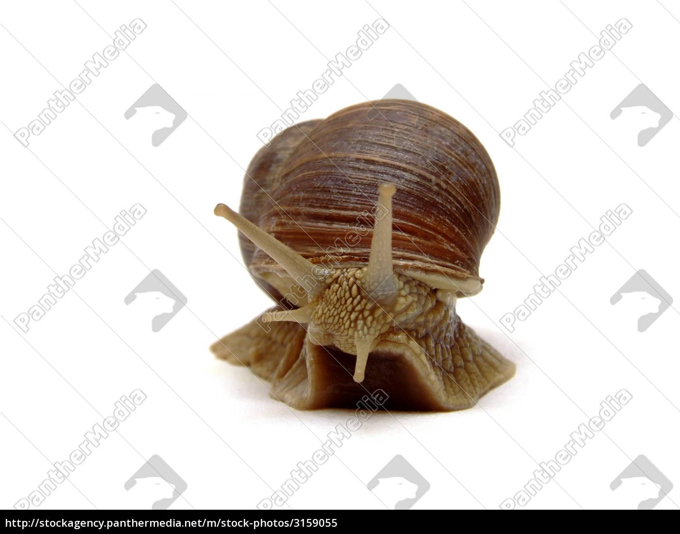 snail, (helix, pomatia) - 3159055