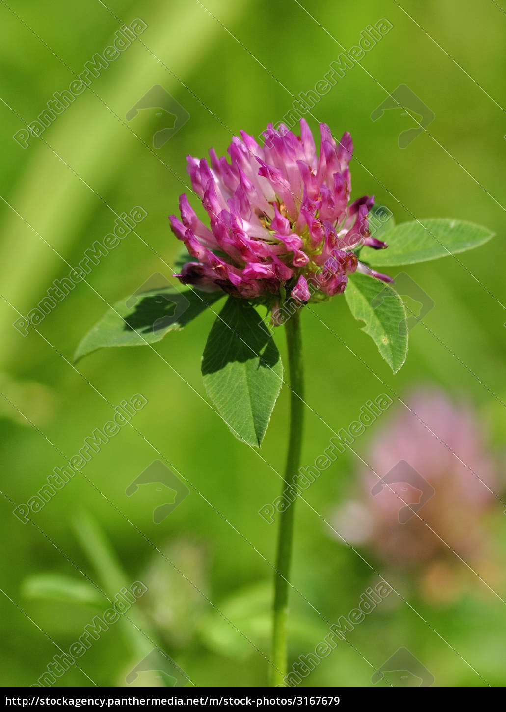 red, clover - 3167679