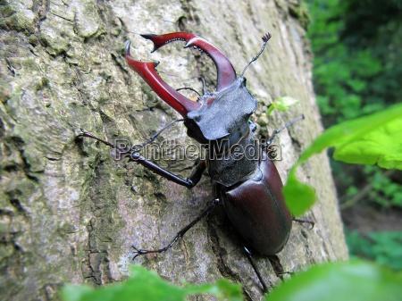 stag beetle 2