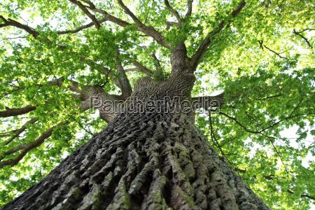 oak in summer 2