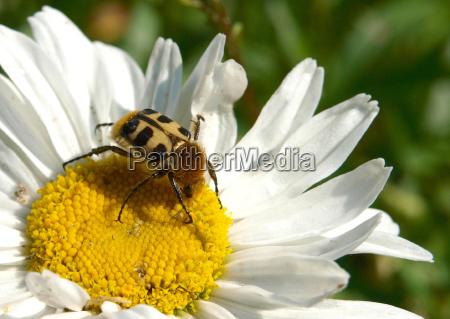 brush beetle