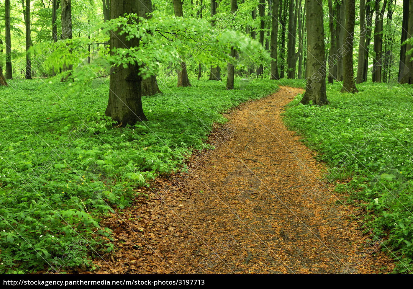 beech, forest, with, path - 3197713