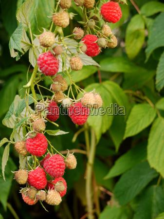 autumn, raspberry, \ - 3210349