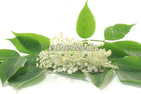 elderflower - 3212317