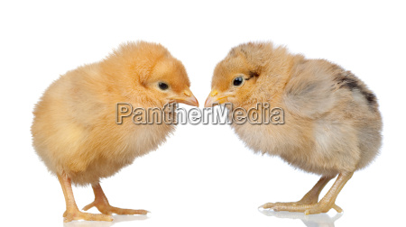 two, little, yellow, chicken - 3212611