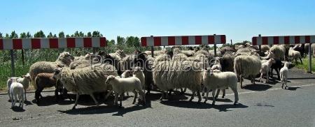 sheep engines
