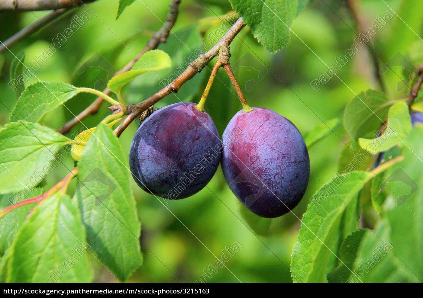 plum, tree, -, plum, tree, 04 - 3215163