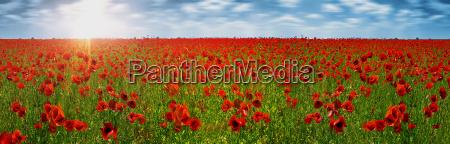 poppy, field, red - 3219747