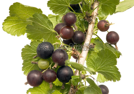 black, velvet, gooseberry - 3220949