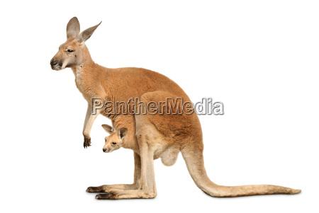 kangaroo, female, with, cub, on, white - 3230231