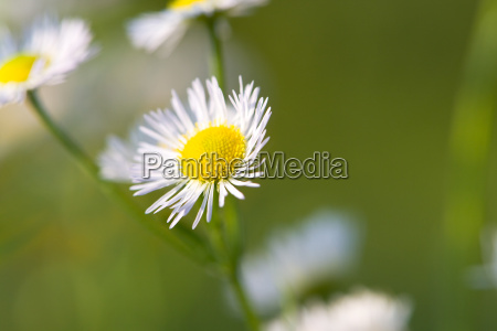 young, daisies, in, summer, close-up - 3231461