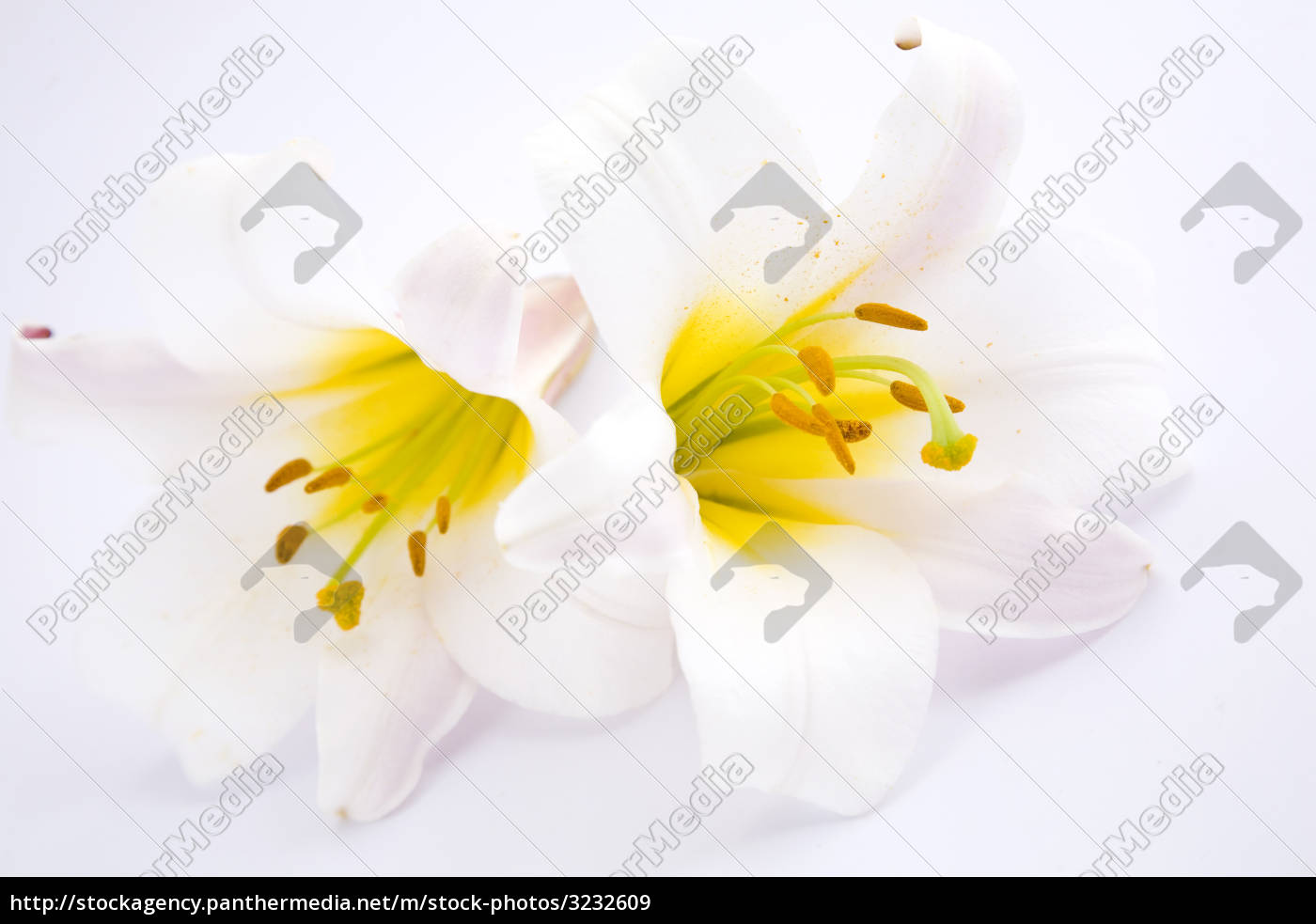 white, lilies - 3232609