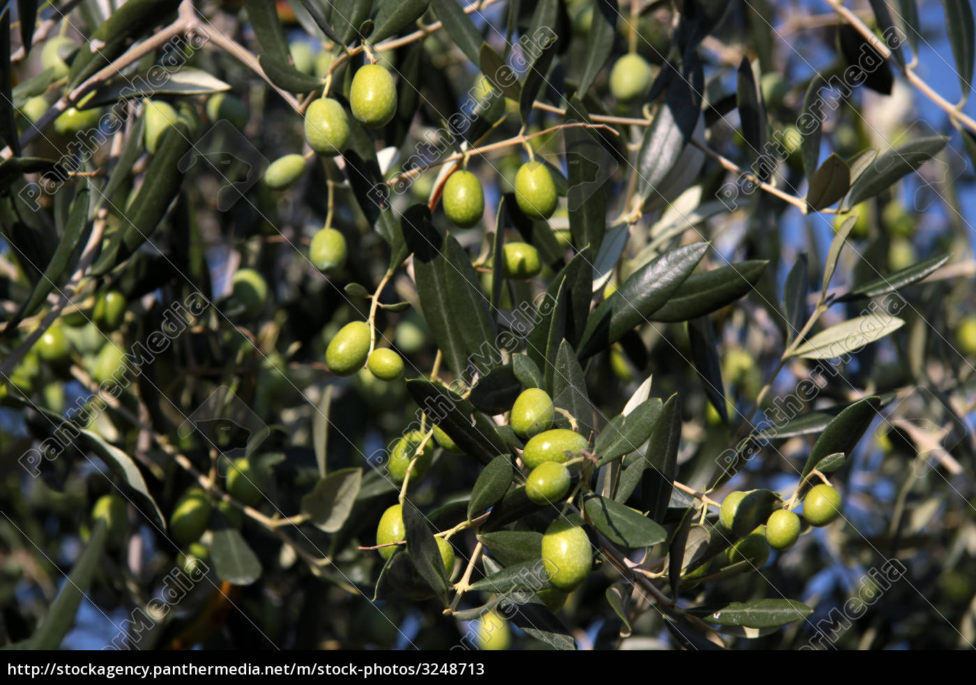green, olives, on, the, tree - 3248713