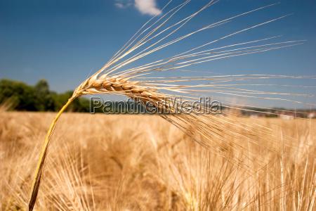 ripe, gerstenähre, in, wind - 3252089