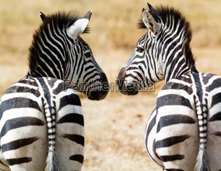 zebras, drinken - 3255155