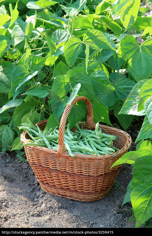 green, beans - 3259415
