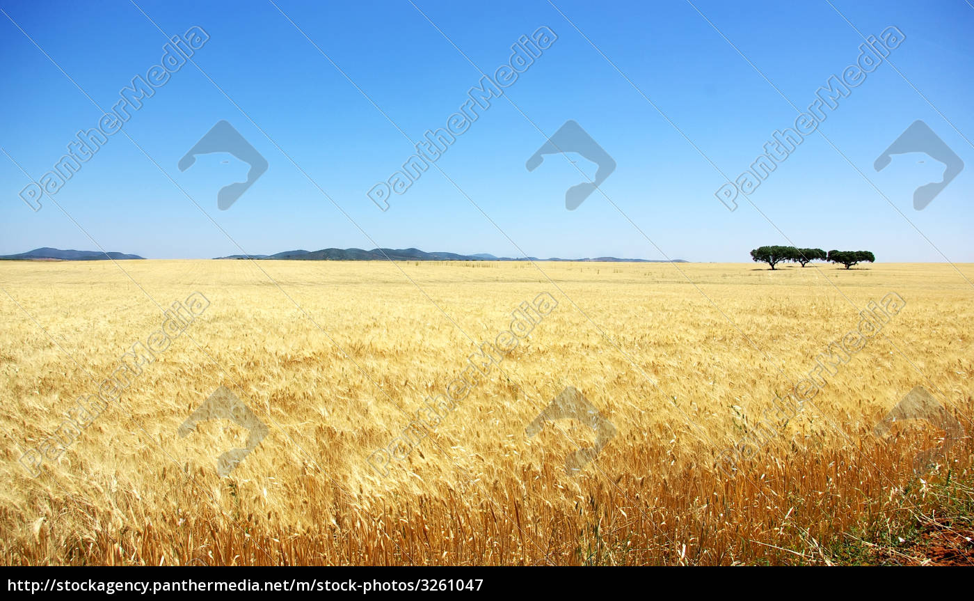 yellow, wheat, field. - 3261047