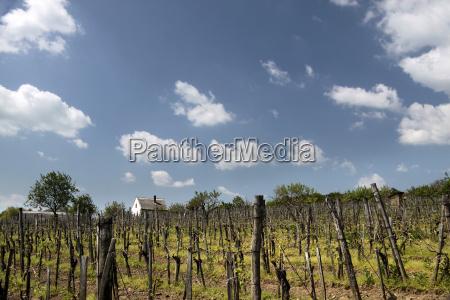 vineyards at lake balaton