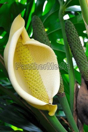 close, up, of, philodendron, flower - 3262995