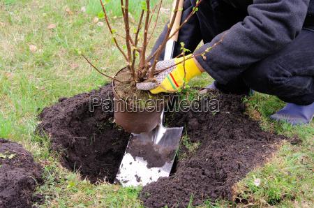 plant shrub planting a shrub