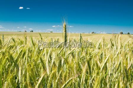 green, wheat, field - 3265125