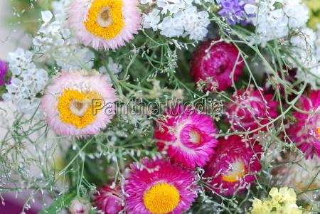 strawflowers, (helichrysum, bracteatum) - 3267595