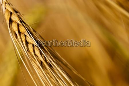 barley, hordeum, vulgare - 3270909