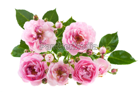 verbluehende roses on white isolated