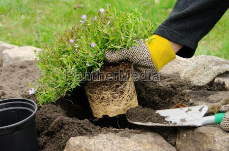 perennial plant shrub planting 10