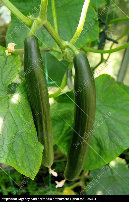 cucumber, -, cucumber, 02 - 3285431