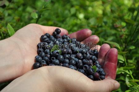 pick, blueberries - 3297611