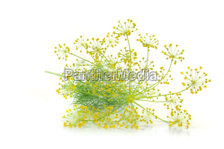 dill with flower