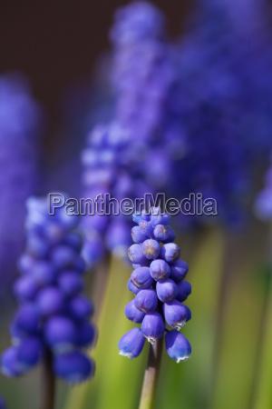 nahaufnahme von einem lila hyazinthe im