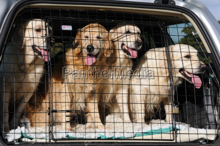four goldren retrievers in the back