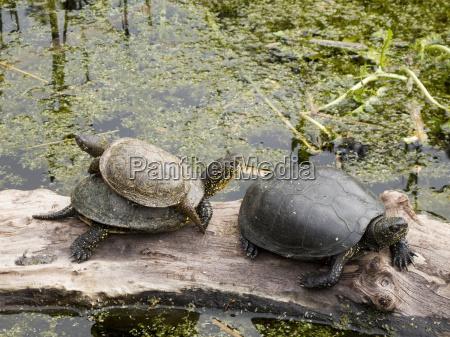 turtles european pond turtle emys orbicularis