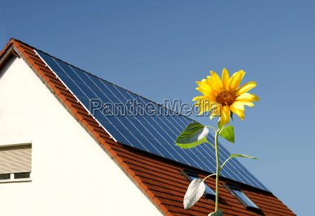 sunflower against solar panels on roof