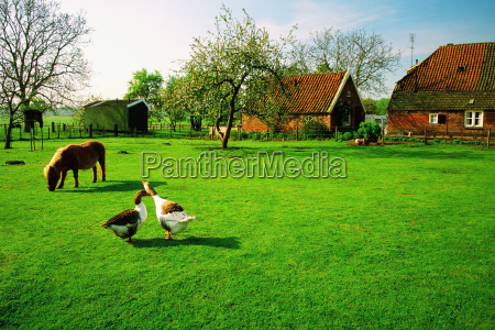 horse and two ducks on a