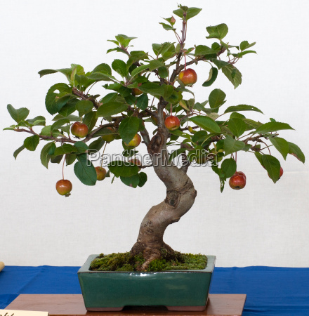 malus halliana as bonsai