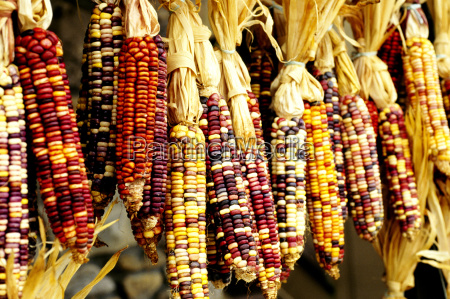 closeup of colorful indian corn in