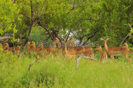 herd of impalas aepyceros melampus in