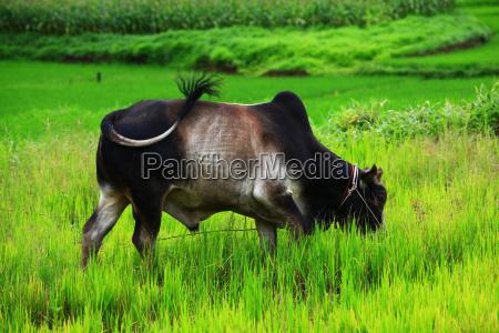 thai, bull - 3604387