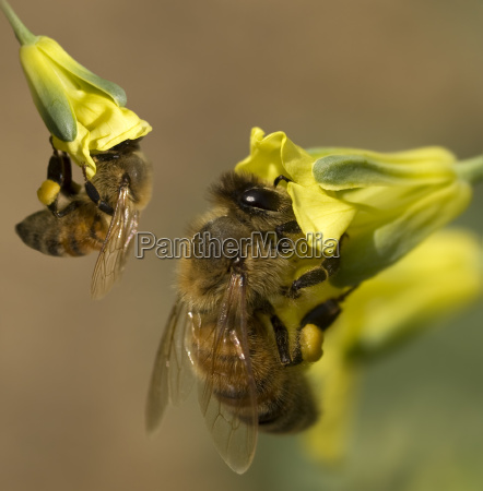 busy spring bees collect pollen from