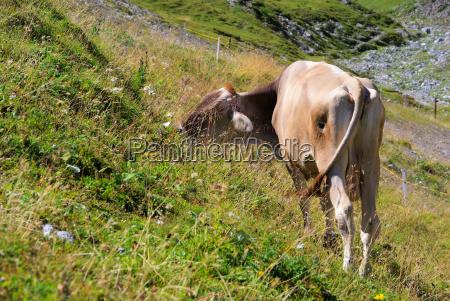 alm cow alp cow 17