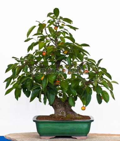 malus as bonsai
