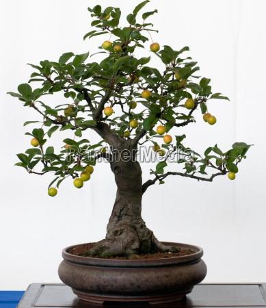 ornamental apple as bonsai