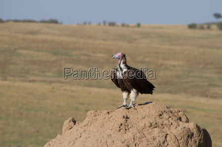 lappet faced vulture on termite hill