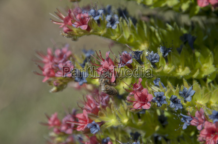 bee on teide bugloss