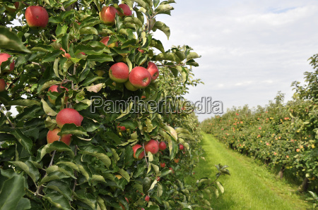 apple harvest in the old country